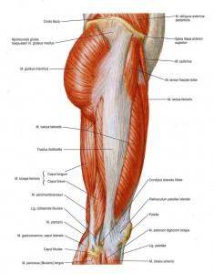 De Tractus Iliotibialis in het midden van het bovenbeen te zien.